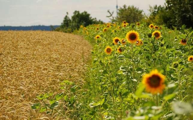 У Голопристанському районі продадуть велике поле незаконно вирощеної пшениці і соняшнику