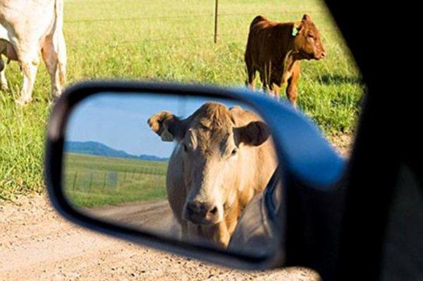 На Херсонщине Mercedes столкнулся с коровой