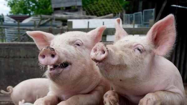 На Херсонщине уменьшается количество свиней