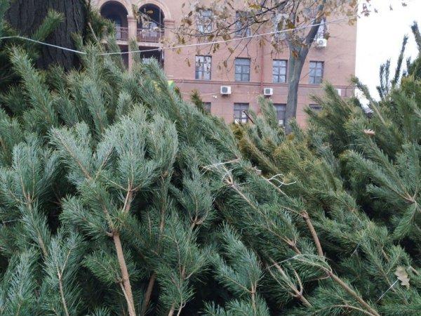 Новогодняя елка: как выбрать красивое и безопасное деревце