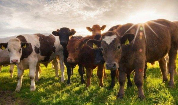 В Україні скоротилась кількість великої рогатої худоби
