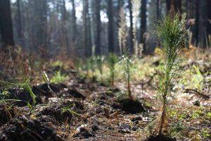 Молодий ліс на старому згарищі висадили під Херсоном